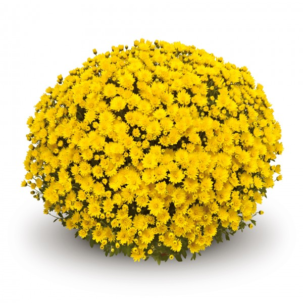 12 geel