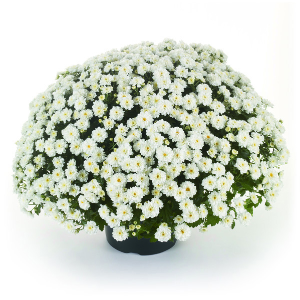 Witte bolchrysant
